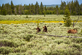 Grizzly bear in Yellowstone National Park, Wyoming, USA