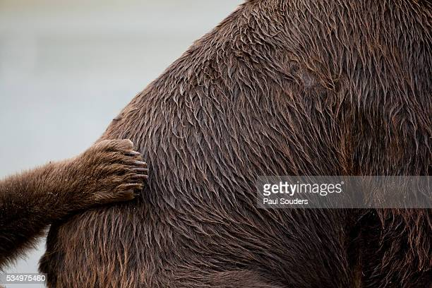 Grizzly Bear, Katmai National Park, Alaska