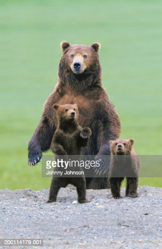Grizzly bear (Ursus arctos) protecting two cubs (Digital Composite)