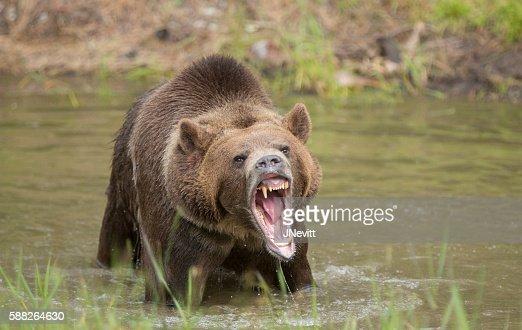 grizzly bear roar stock photo thinkstock