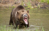 grizzly bear in water growling, looking mean.