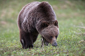 Grizzly Bear Sow, ursus arctos horribilis, Foraging in Kananaskis Country, Alberta, Canada
