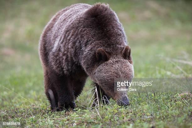 Grizzly Bear Sow, ursus arctos horribilis, Foraging in Kananaskis Country, Alberta, Canada