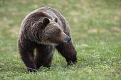 Grizzly Bear Sow, ursus arctos horribilis, in Kananaskis Country, Alberta, Canada