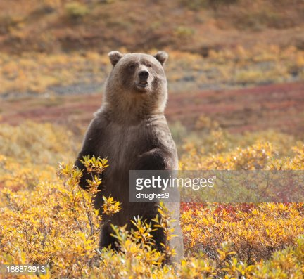 Grizzly Bear standing amid autumn foliage, Denali National Park, Alaska