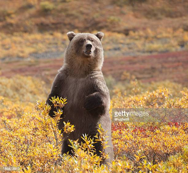 Grizzly Bear standing amid autumn foliage, Denali National Park, Alaska