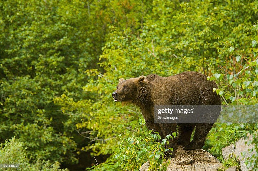 Grizzly bear (Ursus arctos horribilis) standing on a rock : Foto de stock