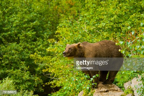 Grizzly bear (Ursus arctos horribilis) standing on a rock : Foto de stock
