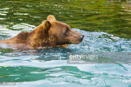 Grizzly bear (Ursus arctos horribilis) swimming in water : Stock Photo