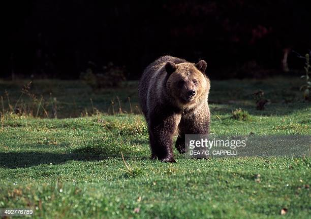 Grizzly bear Ursidae Glacier National Park Montana United States of America