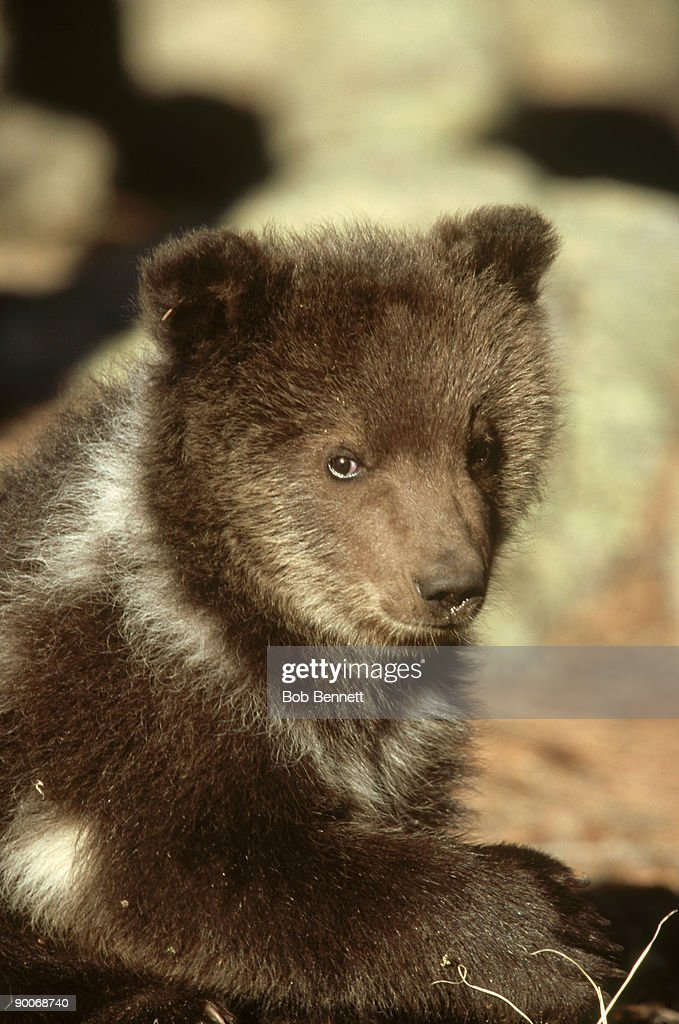 grizzly bear, ursus arctos, 6 months old, north america : Stock Photo