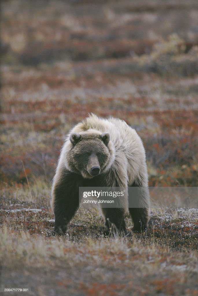 Grizzly bear walking - photo#15