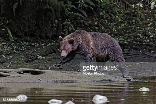 Grizzly bear walking - photo#10