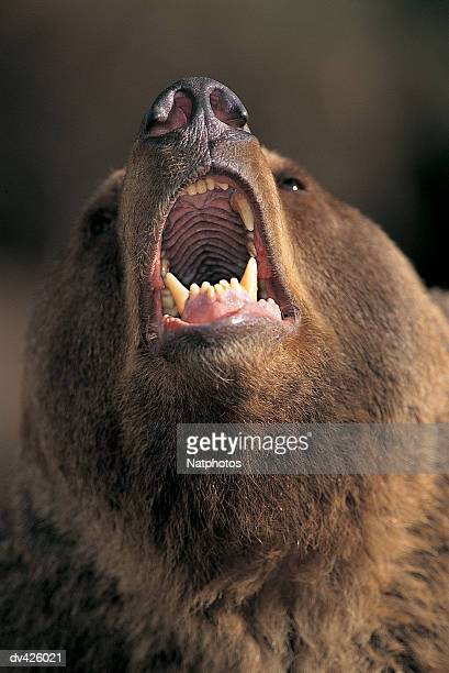Grizzly Bear with mouth open (Ursus arctos)
