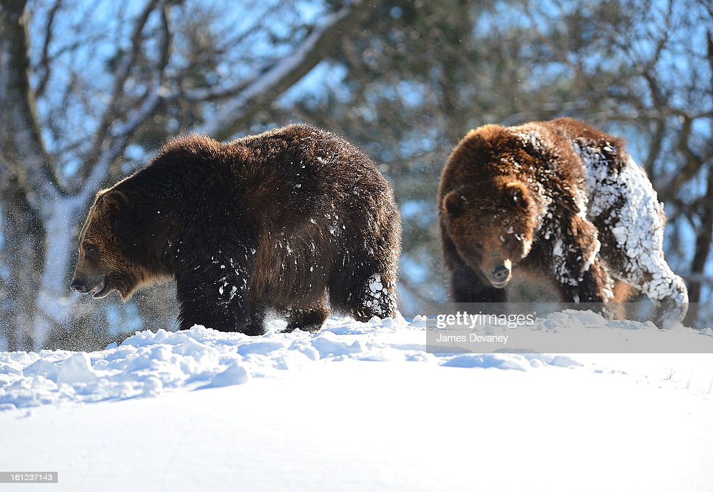 Grizzly bears are seen at the Bronx Zoo after a snow storm on February 9, 2013 in the Bronx borough of New York City.