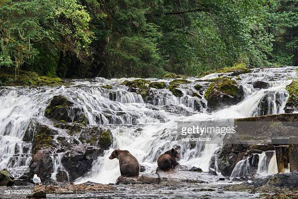 Grizzly bears fishing at waterfall in Alaska