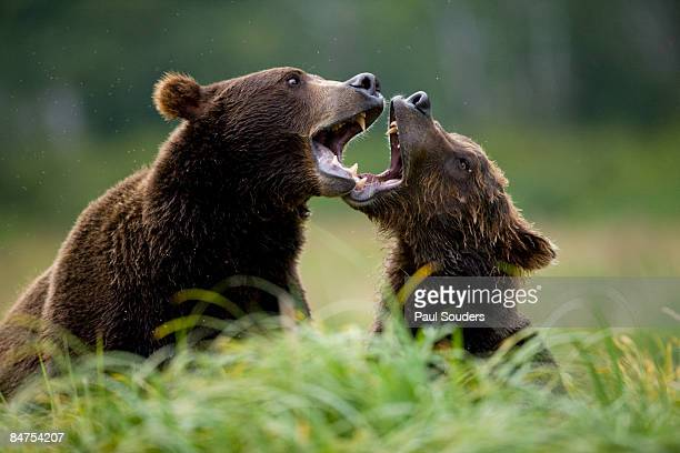 Grizzly Bears, Katmai National Park, Alaska