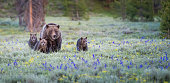 Grizzly bears in the wild