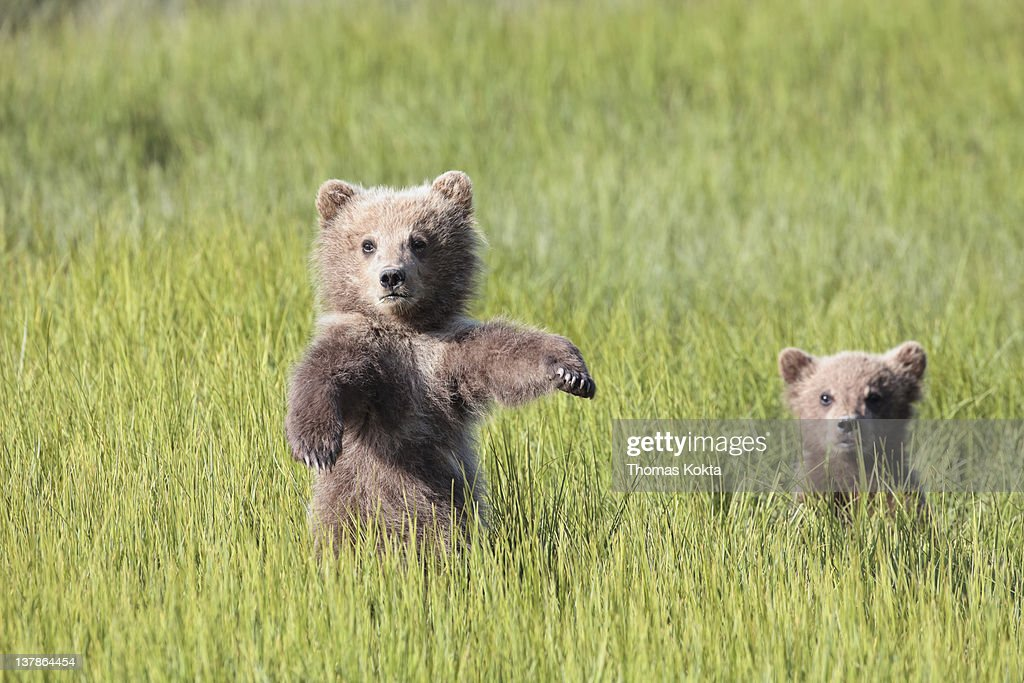 Grizzly Bears (Ursus arctos horriblis)