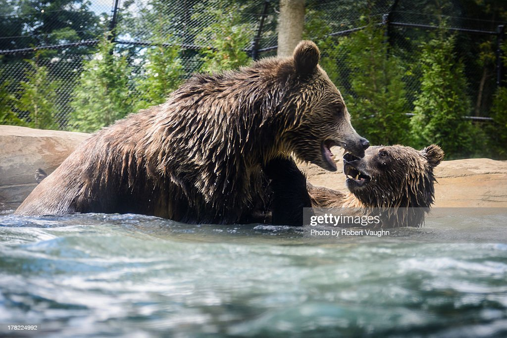 Grizzly bears playing in the water