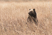 A young grizzly bear cub keeps a careful eye on its mother by periodically standing to locate her in the tall brush.
