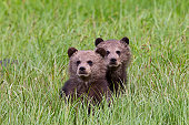 Young Grizzly bear cubs photographed in the Khutzeymateen Valley