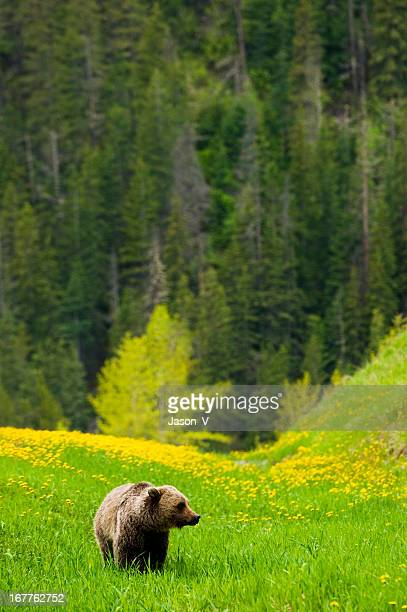 Grizzly in the Mountains