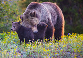 This Grizzly is showing paternal love for her cubs on a Spring morning in the Grand Tetons