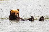 Grizzly enjoying a bath in Alaska