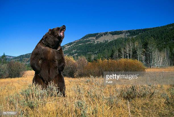 Grizzly Roaring in Field