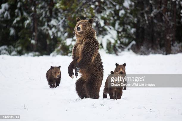 Grizzly Sow and Cubs in Snow