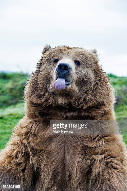 Grizzly sticking out tongue