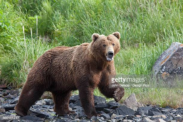 Grizzly Walking On A Rocky Beach With Green Grass In The Background At Geograhic Harbor, Alaska During Summer