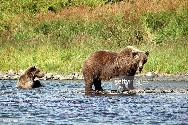 Grizzly with cub standing in river,Katmai National Park,Alaska.
