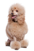 Groomed apricot poodle sitting and panting (2 years old) against a white background.