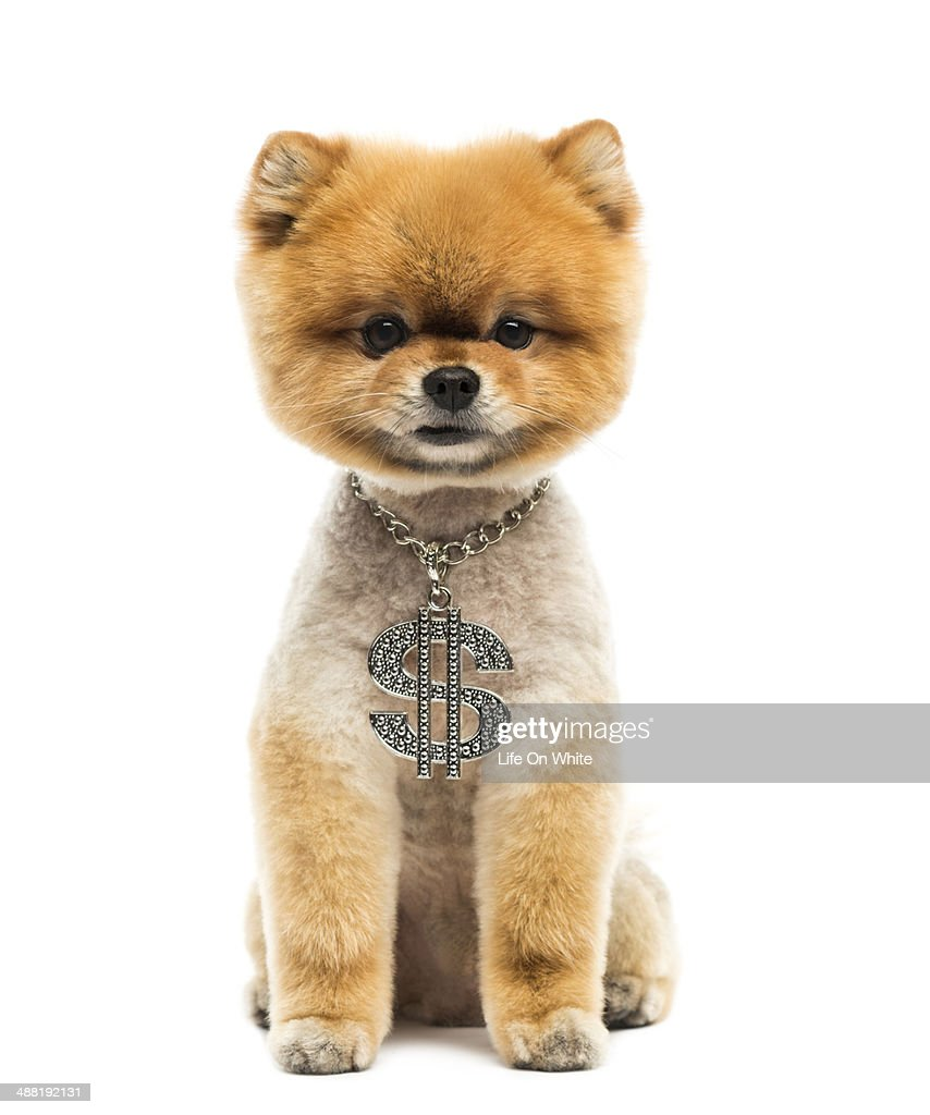 Groomed Pomeranian dog wearing a dollar necklace