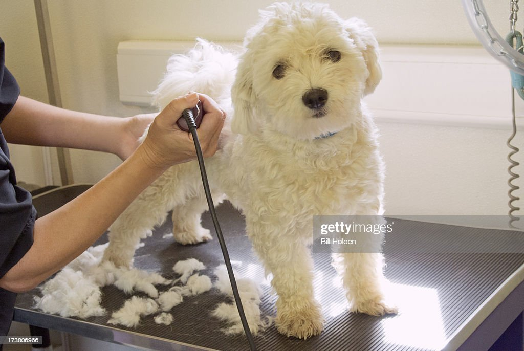 Groomer shaving terriers coat : Stock Photo