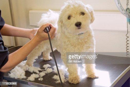 Groomer shaving terriers coat : Stock Photo