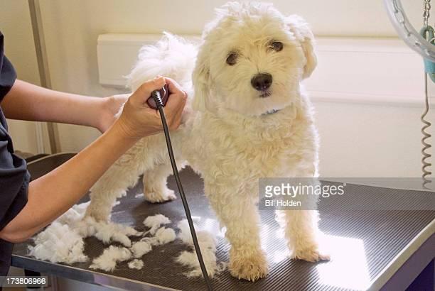 Groomer shaving terriers coat