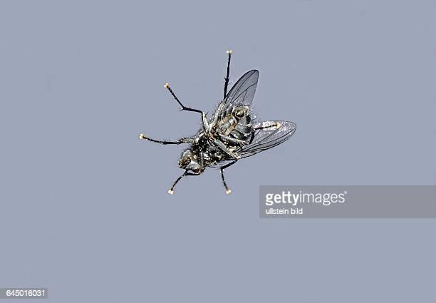 Grosse Stubenfliege Musca domestica sonnt sich an einer Fensterscheibe sie ist laestig aufdringlich und ein Krankheitsuebertraeger