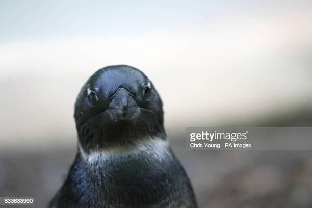 Grotty the baby penguin makes its first appearance at London Zoo PRESS ASSOCIATION Photo Picture date Thursday June 8 2006 The new addition to the...