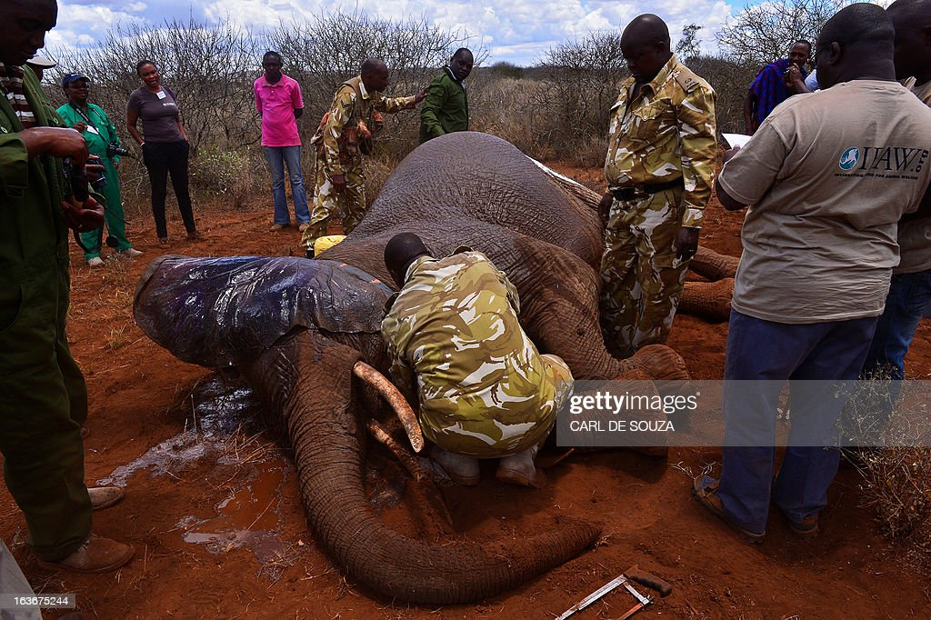 A ground crew take data and fit a tracking collar to a wild elephant after it was darted by a Kenya Wildlife Services (KWS) vet in Amboseli national park, Kenya on March 14, 2013. The International Fund for Animal Welfare (IFAW) School of Field Studies (SFS) and KWS partnered to fit tracking collars to elephants in and around Amboseli national park. The exercise has cost 100,000 USD and will monitor 6 elephants for 20 months in order ascertain migratory routes and other data. There are currently 60 collared elephants in Kenya of a total national elephant population of around 37,000. AFP PHOTO/Carl de Souza