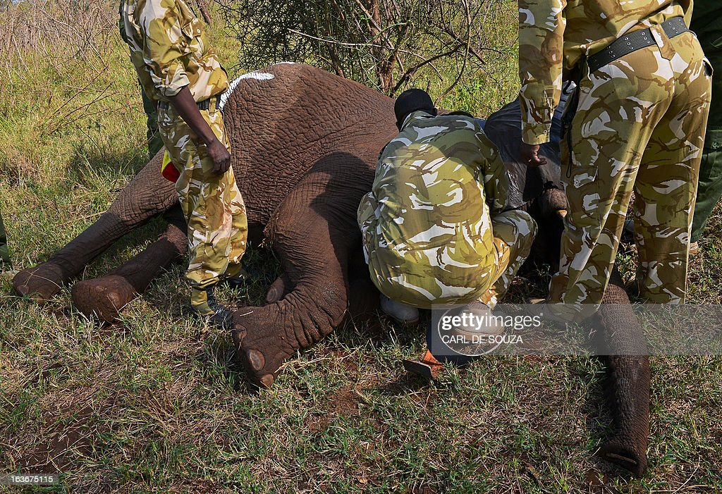 A ground crew takes data and fits a tracking collar to a wild elephant after it was darted by a Kenya Wildlife Services (KWS) vet in Amboseli national park, Kenya on March 14, 2013. The International Fund for Animal Welfare (IFAW) School of Field Studies (SFS) and KWS partnered to fit tracking collars to elephants in and around Amboseli national park. The exercise has cost 100,000 USD and will monitor 6 elephants for 20 months in order ascertain migratory routes and other data. There are currently 60 collared elephants in Kenya of a total national elephant population of around 37,000. AFP PHOTO/Carl de Souza