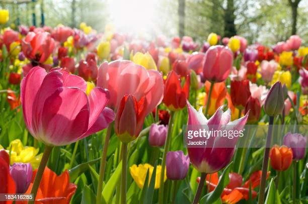 Ground level view of multicolored tulips