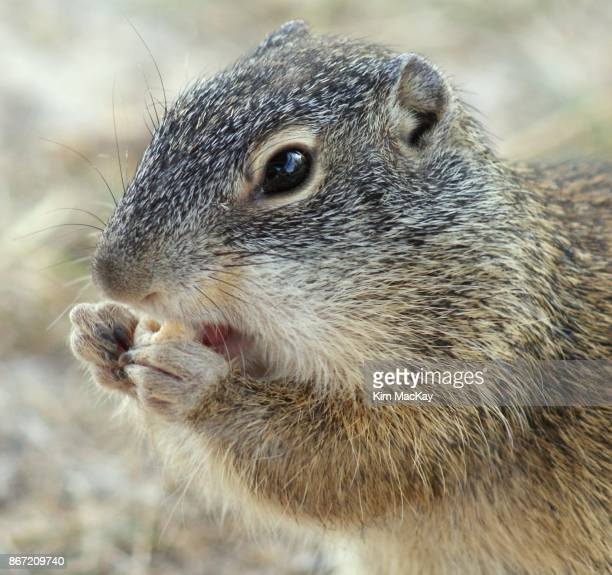 Ground squirrel close-up, eating a snack