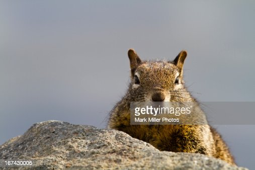 Ground Squirrel on Rocks : Foto de stock