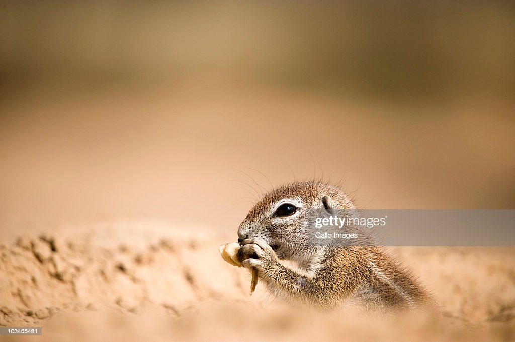 A ground squirrel Xerus inauris gnaws on a scavenged bone found in a campsite in the Kgalagadi Transfrontier Park, Northern Province, South Africa : Stock Photo