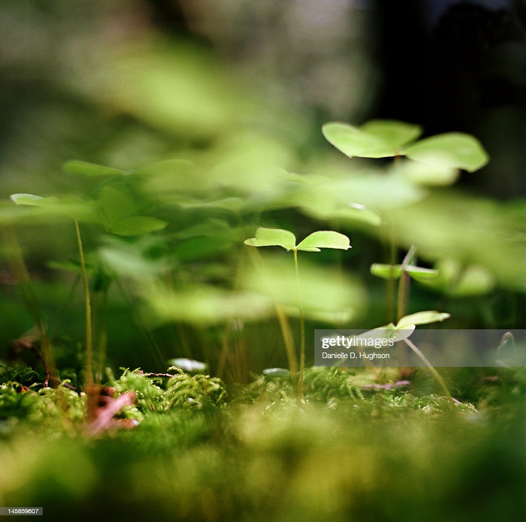 Ground view of tiny Clover : Stock Photo