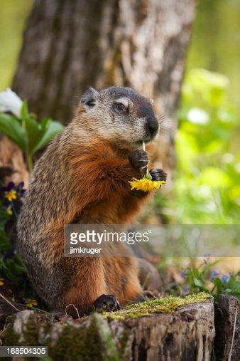 Groundhog eating a dandelion.