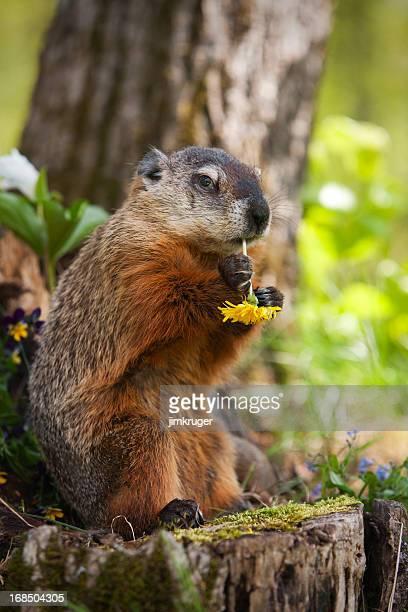 Groundhog manger une Fleur de pissenlit.